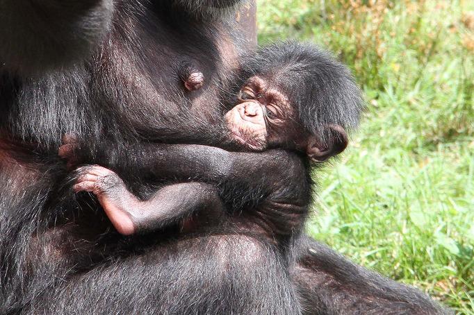7月25日に生まれたチンパンジーの赤ちゃん